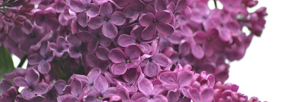 Sunday, May 8, 10:00 am – 3:00 pm – 108th Annual Lilac Sunday