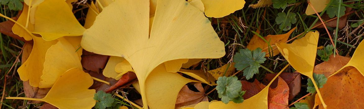 Wednesday, October 12, 10:00 am – Everything You Ever Wanted to Know About Ginkgo, but Were Afraid to Ask