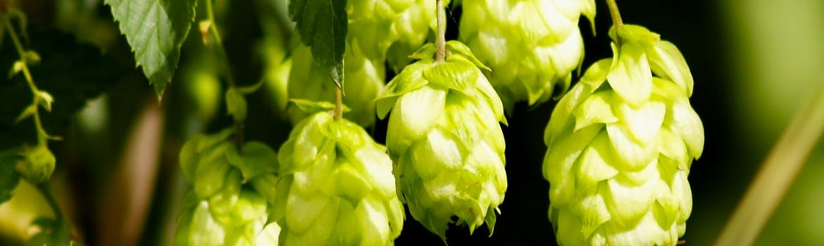 Saturday, August 26, 10:00 am – 4:00 pm – Hops, Ales and Brewing, Oh My!